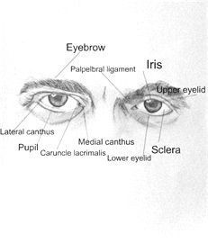Structure Of The Eyes Drawing The Human Head Medical Art Drawing Lessons