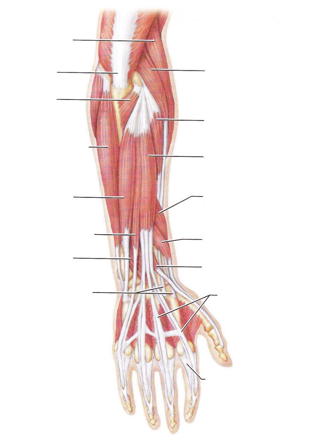 Blank Arm Diagram Worksheets