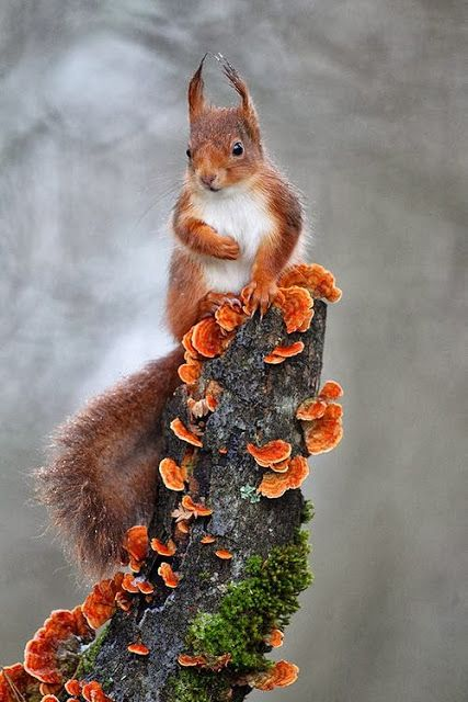 Red Squirrel with Red Wood Fungi