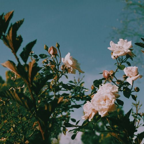 Flowers Rose And Nature Image Flower Aesthetic Flowers Beautiful Flowers
