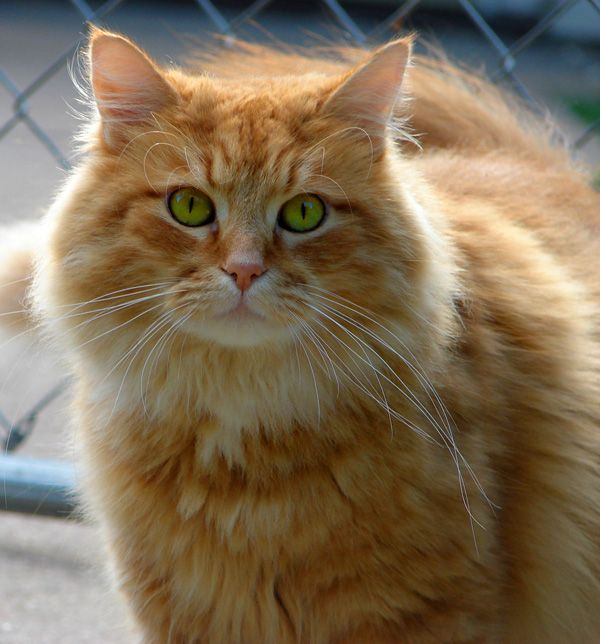 Image result for long-haired ginger cat