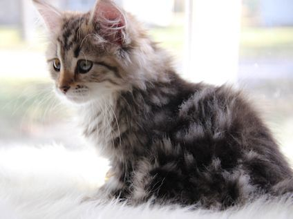 Available Siberians Siberian Forest Cat Cats And Kittens