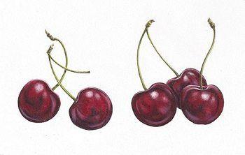 Cherries by Ann Swan