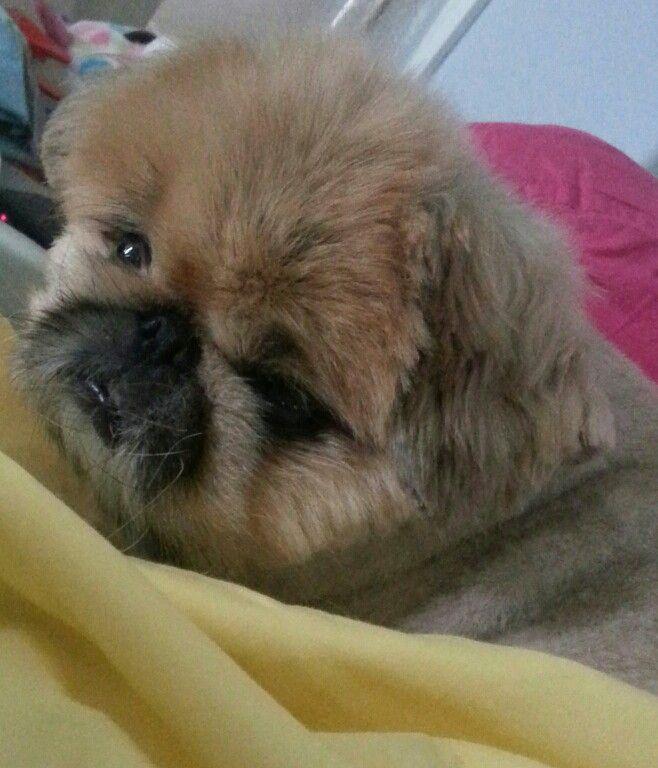 My Charlie 2016  Pekingese Dogs, Pekingese, Persian Cat-7587
