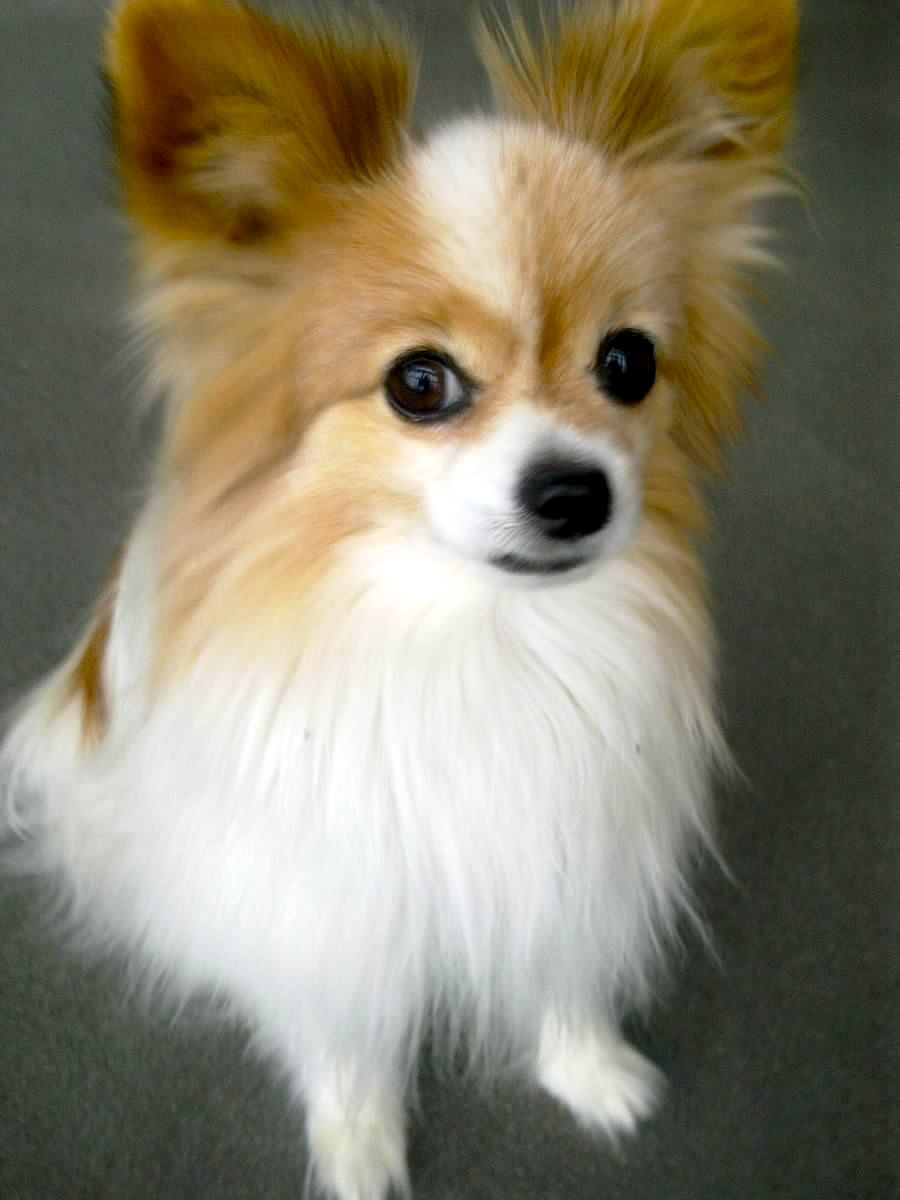 I have a papillon named Toby and he is absolutely the ...