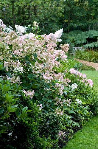 Harpur Garden Images Ltd Mwis1099 Hydrangea Paniculata In Shadey Border With Dwarf Azaleas Folaige Gunnera In Back Plants Uk Flowering Shrubs Garden Images