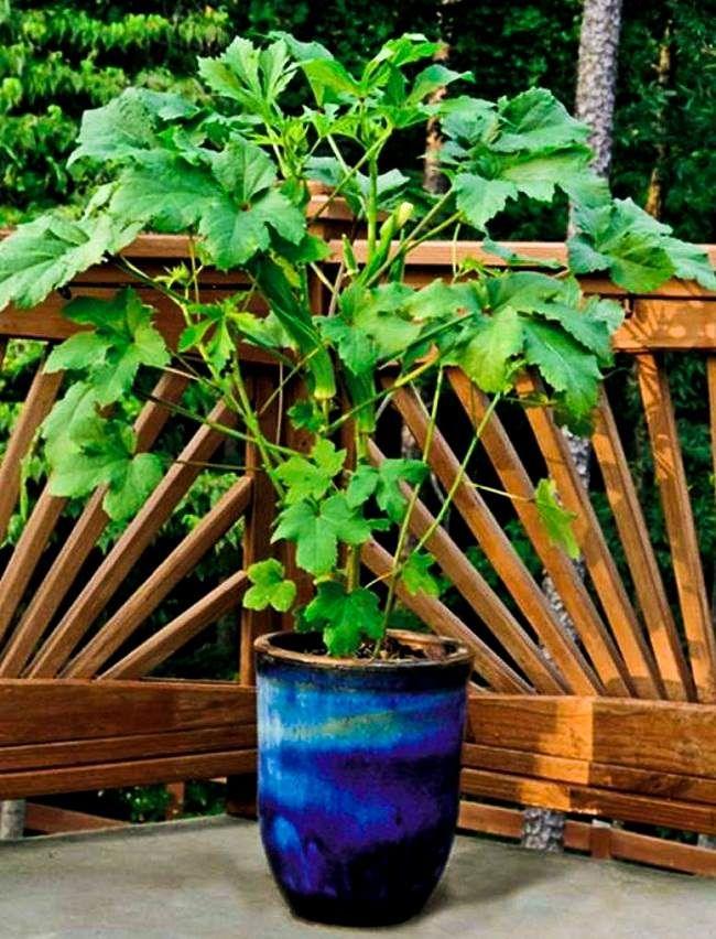 Growing Okra In Pots Container Ve able GardeningVeggie