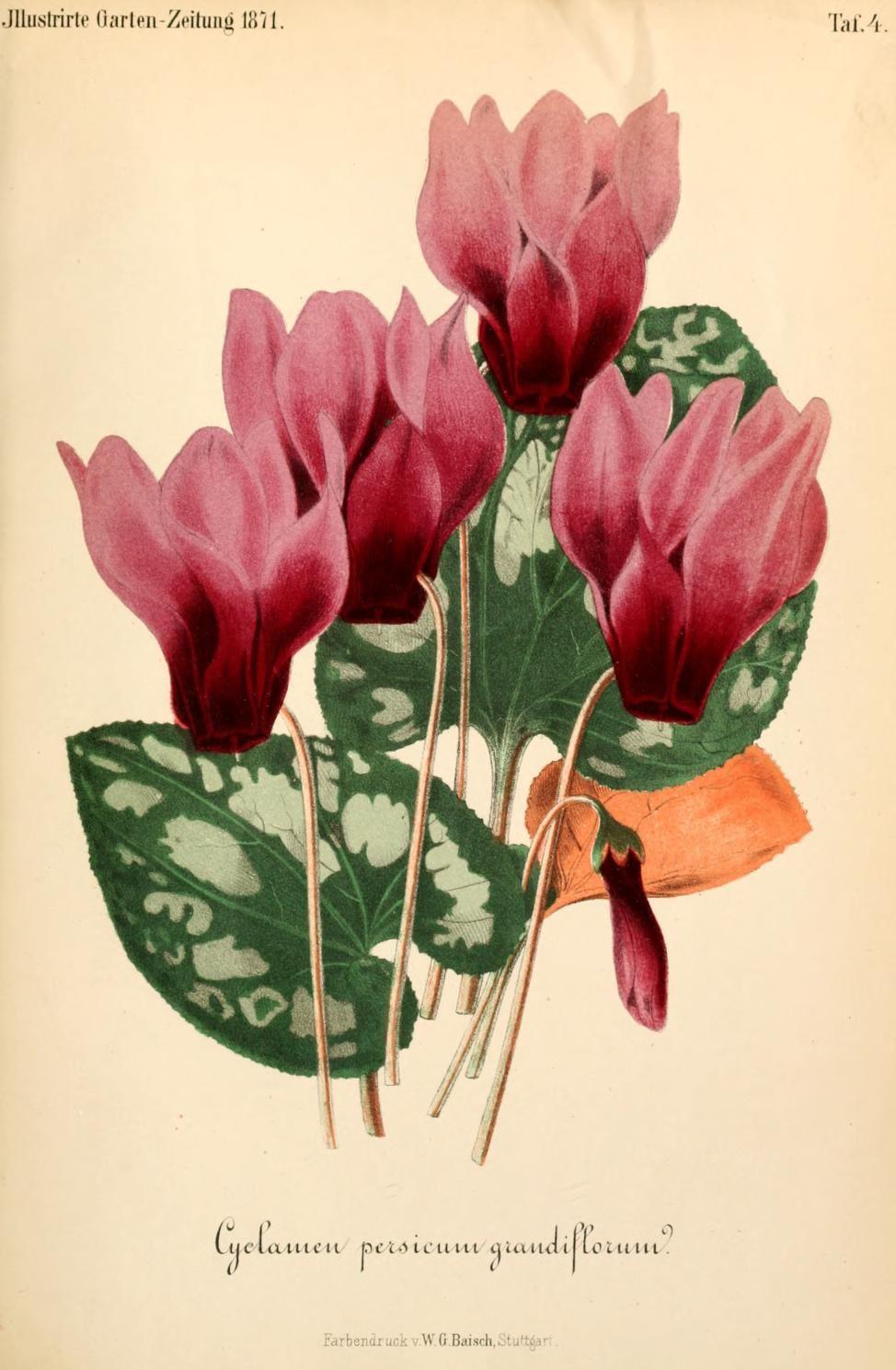 Bd 15 1871 Illustrierte Garten Zeitung Biodiversity Heritage Library Flower Pictures Botanical Prints Clip Art Vintage