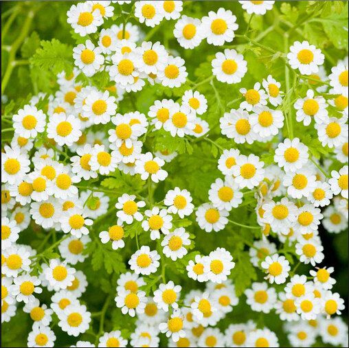 New Home Garden Plant 100 Seeds Feverfew Tanacetum Parthenium Herb Flower Seeds Feverfew Feverfew Plant Medicinal Plants