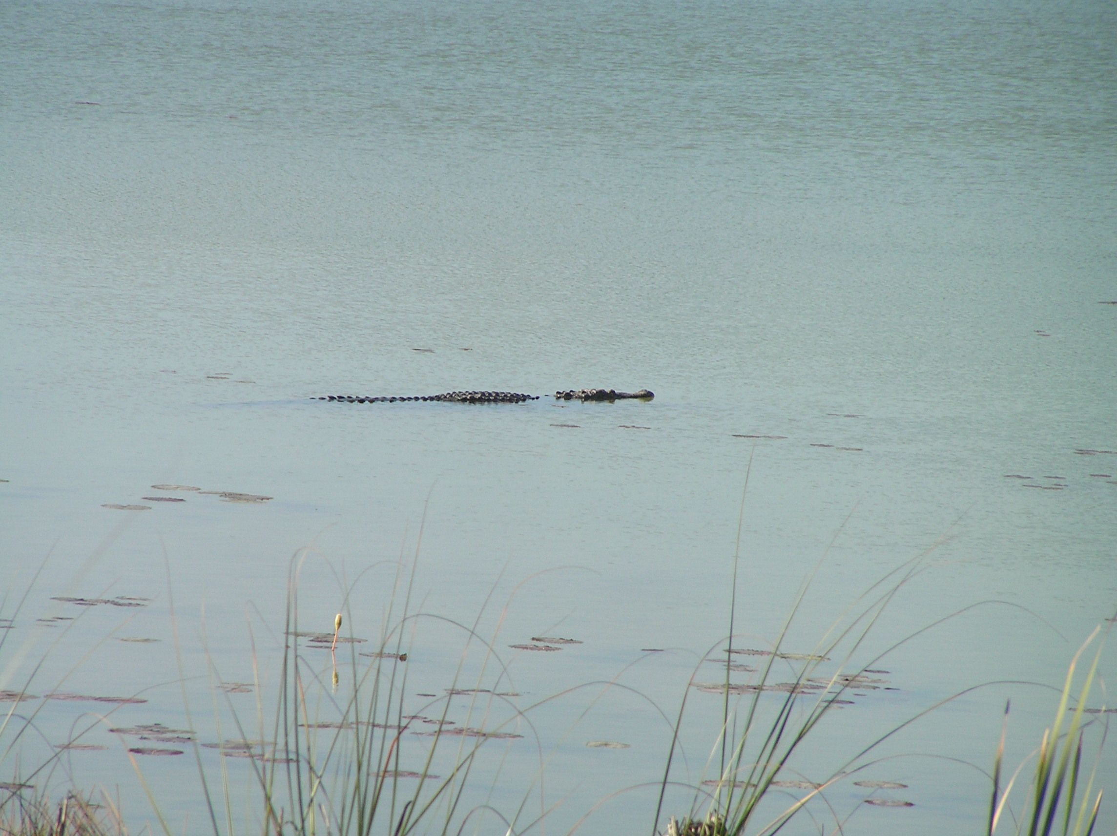 Laguna cercana a Cobá. Cocodrilo.