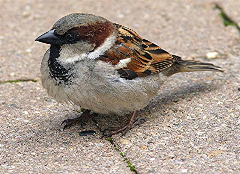 British garden birds - Male house sparrow sad to see these ...