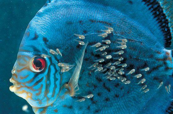 Reproducci n y cr a de los peces disco en casa acuarios for Tanques para cria de peces