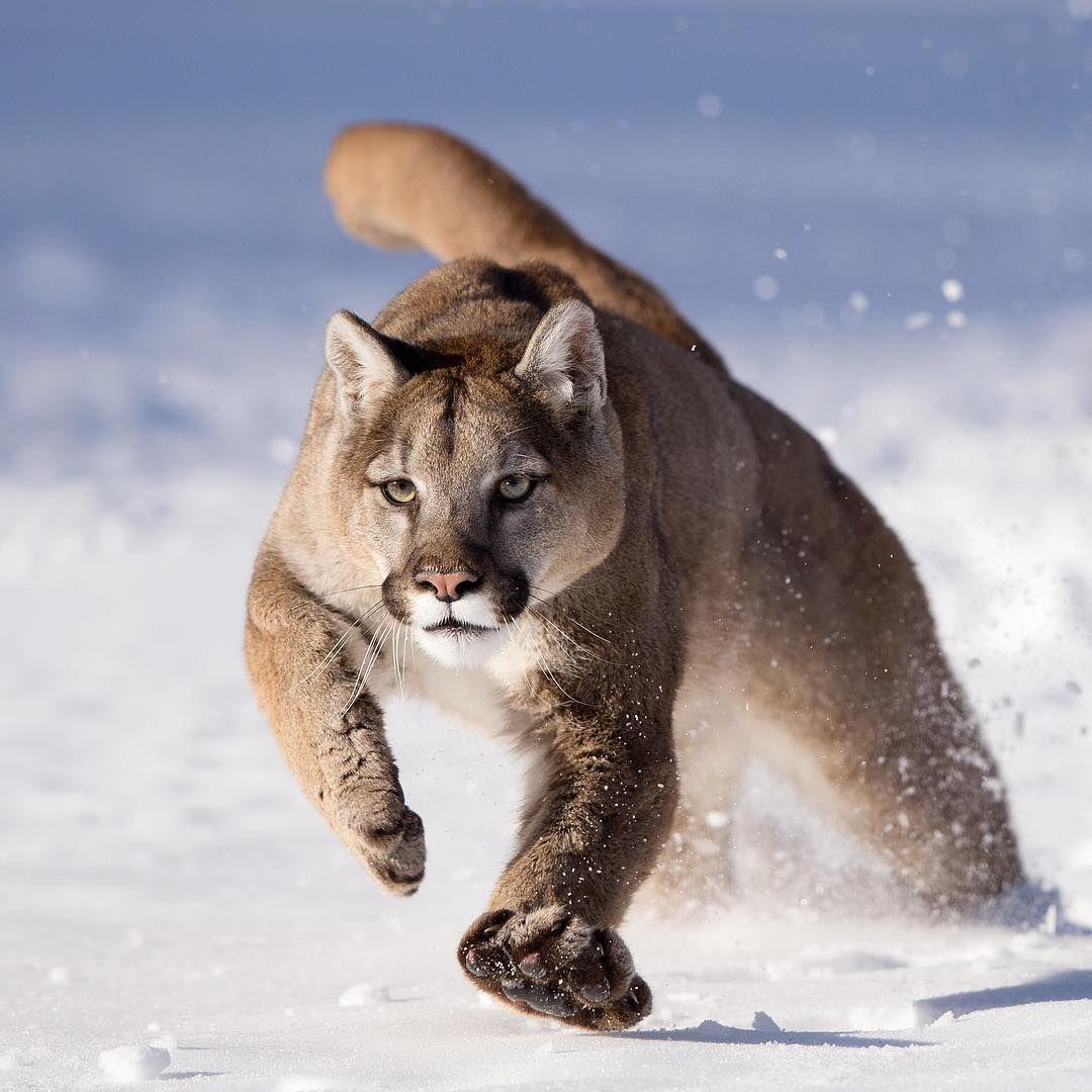 Mountain Lion, Puma, Cougar | I Love Nature & Animals ...
