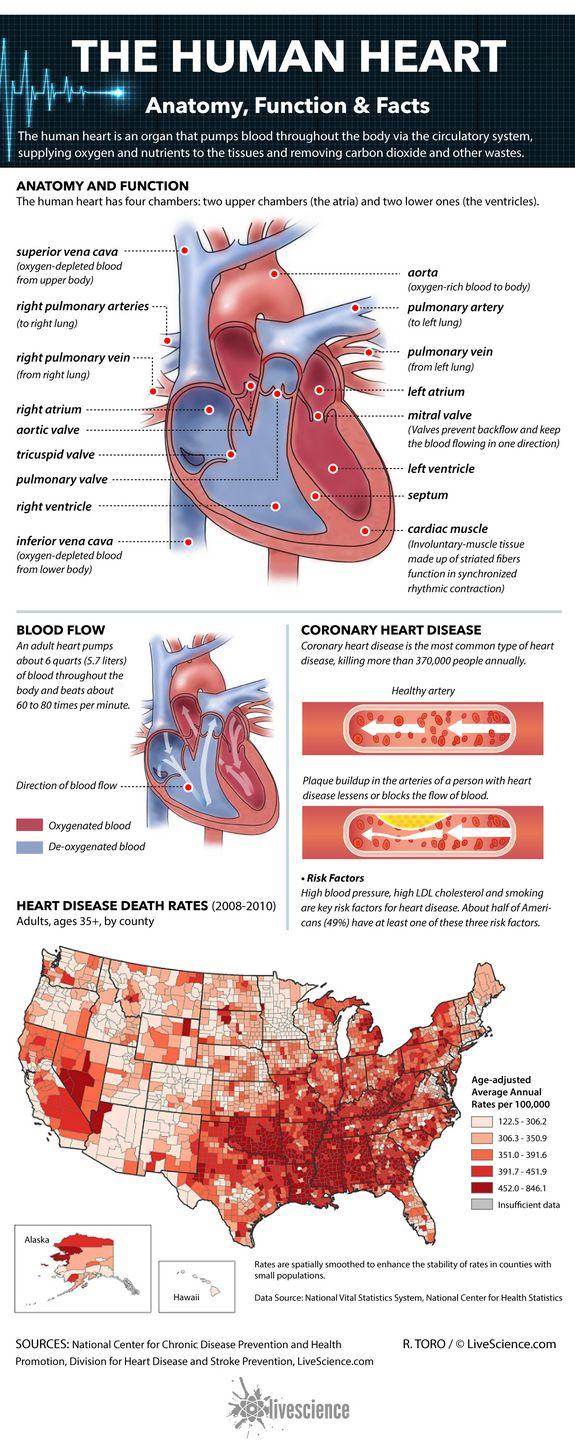 Human Heart: Anatomy, Function & Facts | Human heart ...
