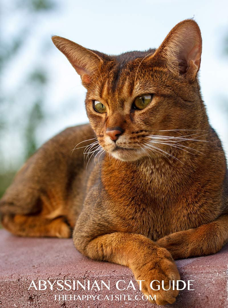 Abyssinian Cat Personality Means That They Like To Sit Up High And Watch The World Go By Abyssinian Cats Abyssinian Kittens Rare Cat Breeds