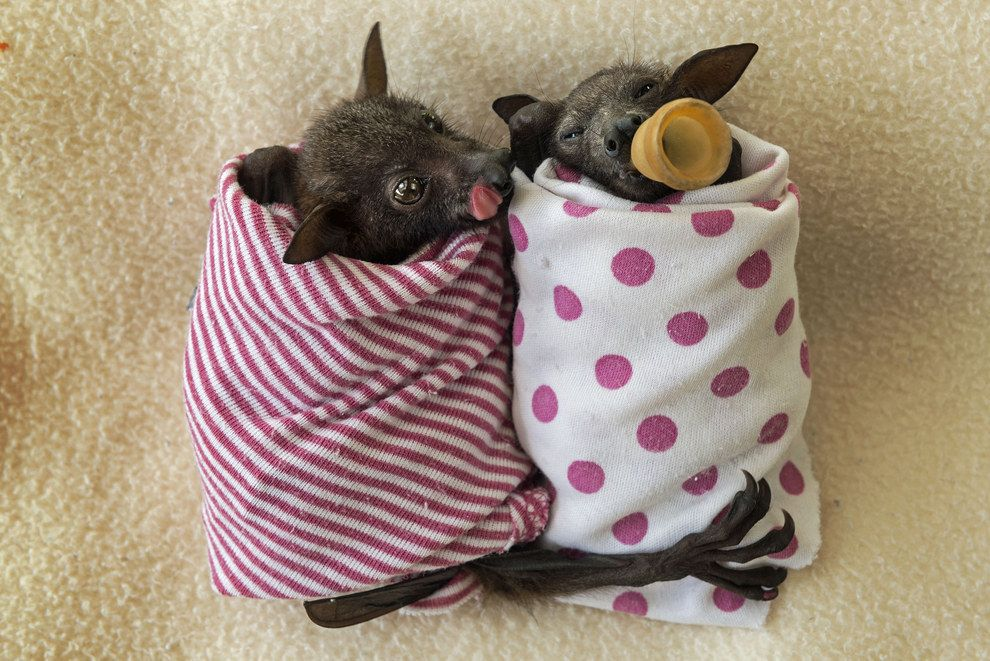 Swathed In Spotted And Striped Blankets The Orphaned Bats Are Being Cared For At The Tolga Bat Hospital In Atherton Far North Queensland Australia With Images Baby Bats Cute Bat Cute
