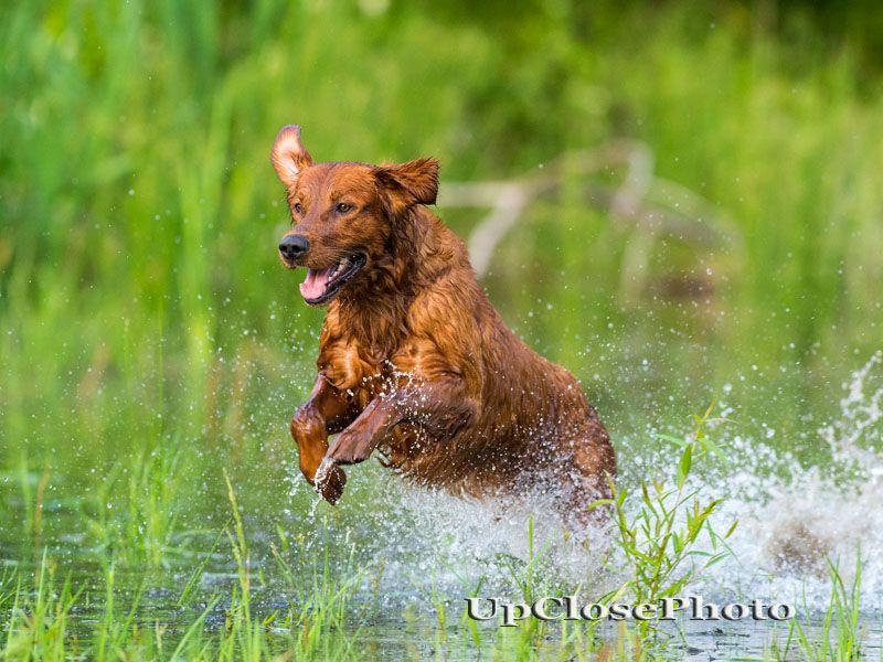 Grhrch Runs Creek Red Hot Titan Mh Mnr American Field Bred