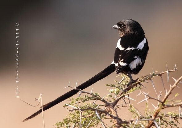 Photo of the Day: Magpie Shrike. Kruger National Park, South Africa