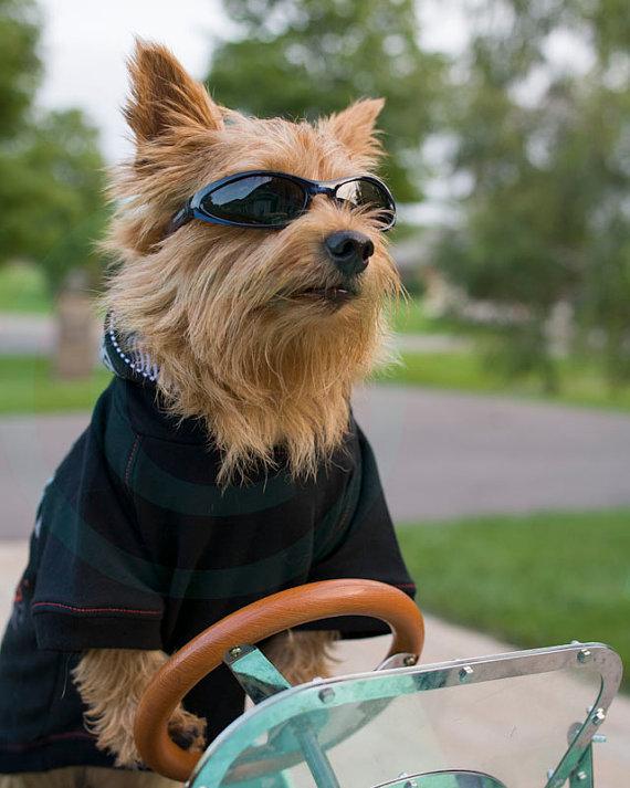 Norwich Terrier Drive A Car Fine Art Photo Pet Lovers Home