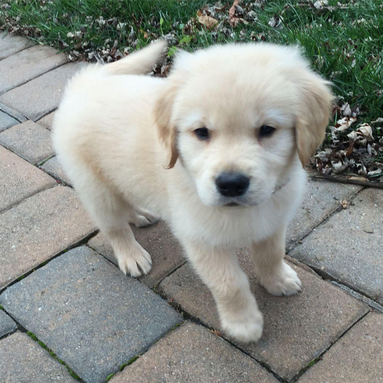 Our 8 Week Old Golden Retriever Named Max Golden Retriever