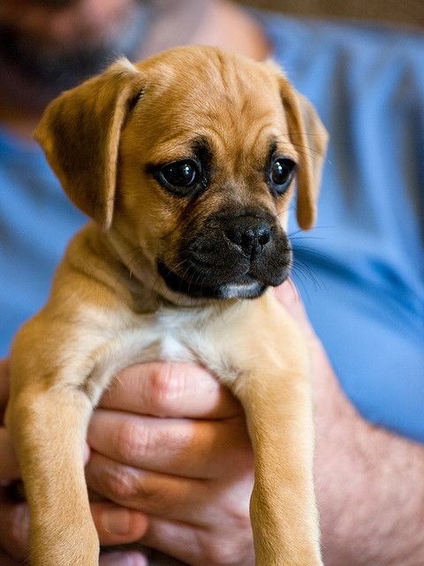 Puggle 4 Jpg Family Friendly Dogs Puggle Puppies Friendly Dog Breeds