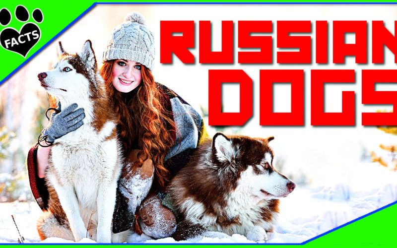 Toptenz 10 Unique Dog Breeds From Russia Dogs 101 Russian Dog