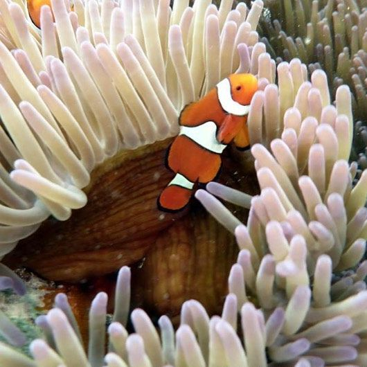 Vært ute å svømt med Nemo idag! Great Barrier Reef var en sinnsykt opplevelse #greatbarrierreef #australia #cairns #nemo #gostudy99 by suzannerhansen http://ift.tt/1UokkV2