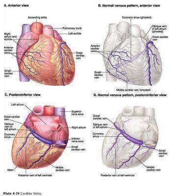 5 Major Coronary Arteries   Middle Cardiac Vein   Nursing School and ...
