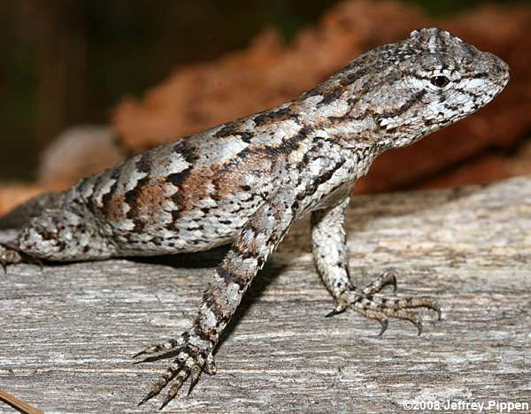 Eastern Fence Lizard E Us Animals Indigenous To Briar Patch