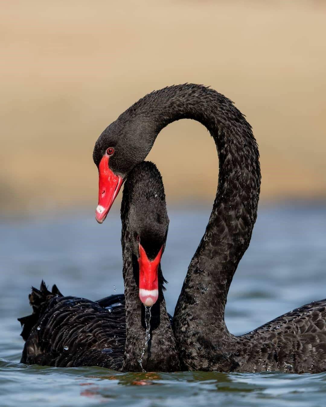 определить, что черные лебеди фото красивые рисунок может