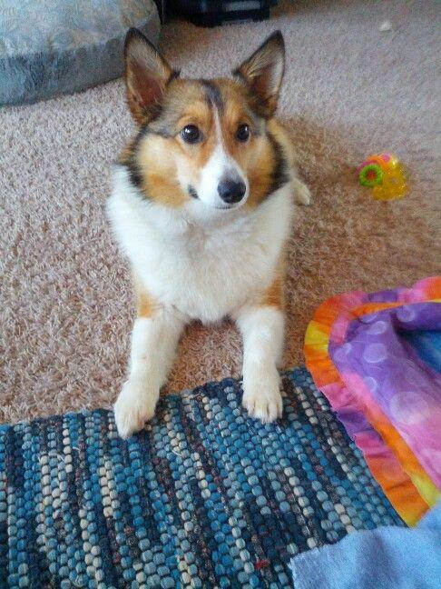 My Dog Oz Sheltie Corgi Mix Corgi Mix Corgi Sheltie