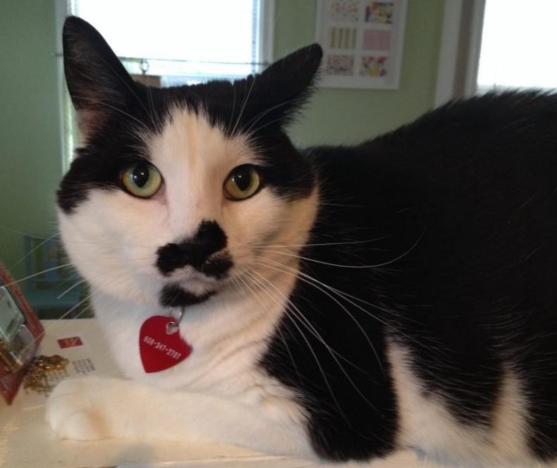 Stunning Male Black And White Cat For Adoption Minneapolis Mn Adopt Bosco Today Cat Adoption Kitten Adoption Cat Cuddle