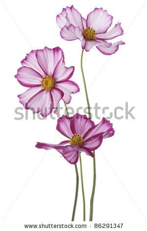 Studio Shot Of Magenta Colored Cosmos Flowers Isolated On White Background Large Depth Of Field Dof Macro B Cosmos Flowers Flower Drawing Flower Painting