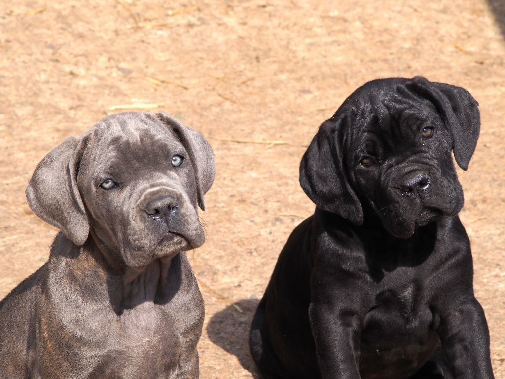 We Have A Top Class Quality Cane Corso Puppies For Sale To