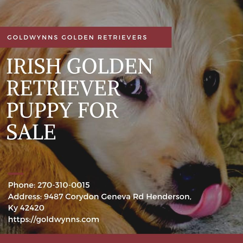 Goldwynns Are A Standout Amongst The Most Presumed Irish Golden