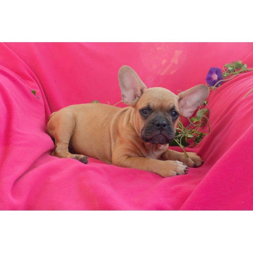 Srochnaya Prodazha Malchik French Bulldog Puppies French Bulldog