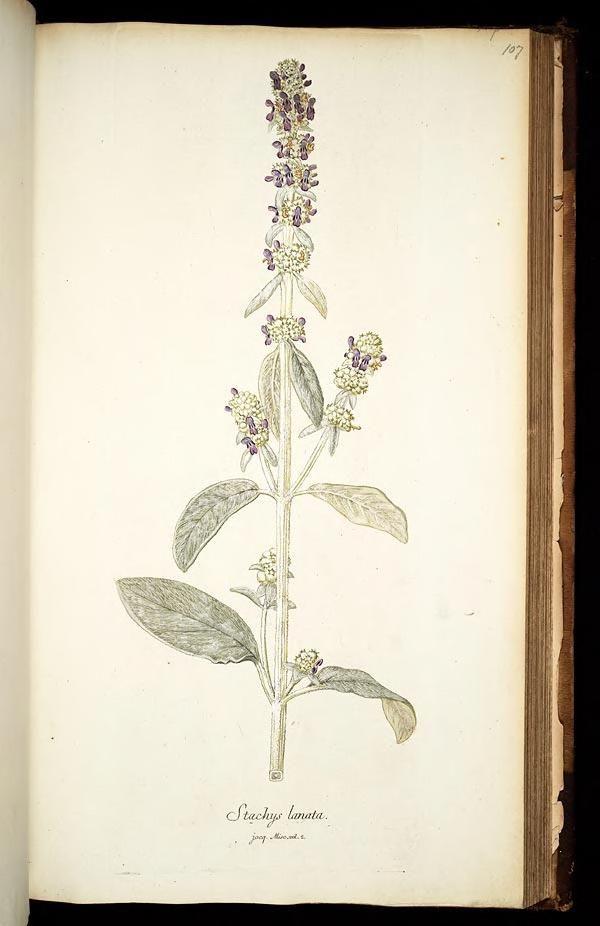 vol. 1, 1781, - Icones plantarum rariorum - Nicolao Josepho Jacquin - Missouri Botanical Gardens rare book collection via BHL