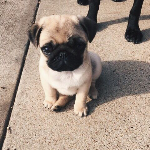 So Tiny Cute Animals Cute Pugs Cute Baby Animals