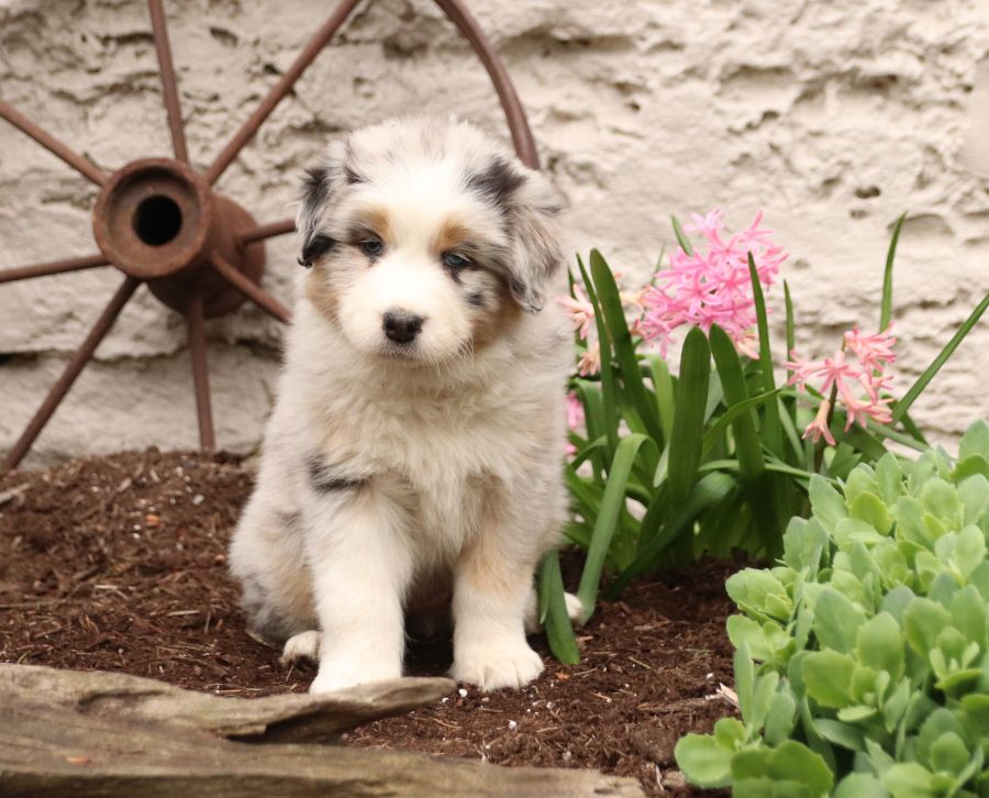 Puppies For Sale With Images Australian Shepherd Puppies Dog