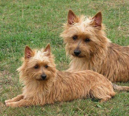 Australian Terrier Dog Australian Terrier Puppies Australian