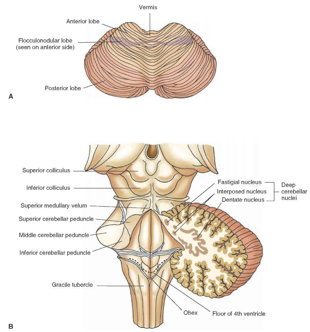 A) Dorsal view of the cerebellum indicating the positions of the ...