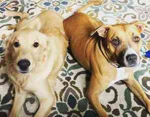 BoxerGolden Retriever Mix Dog For Adoption in DALLAS, TX