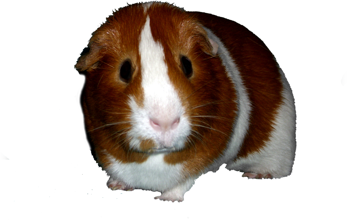 Pin On My Guinea Pigs