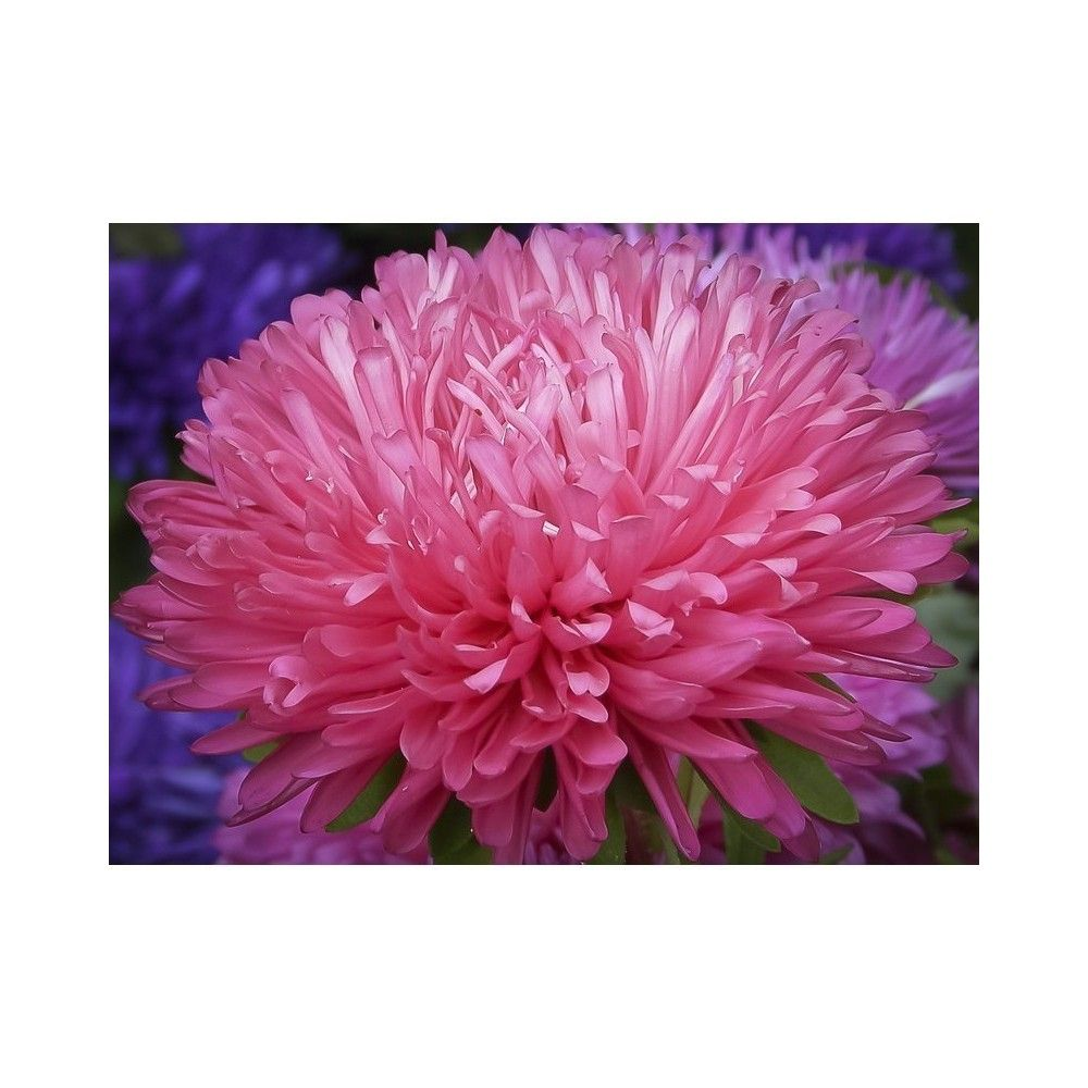 Chinese Aster Pink 1 45 Chinese Aster Pink Callistephus Aster Price For Package Of 50 Seeds Gremlin Is A Tall Double Vari Flower Seeds Growing Flowers Petals