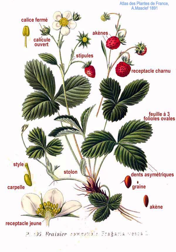 Strawberry Anatomy Gallery | Strawberries | Pinterest | Anatomy and ...