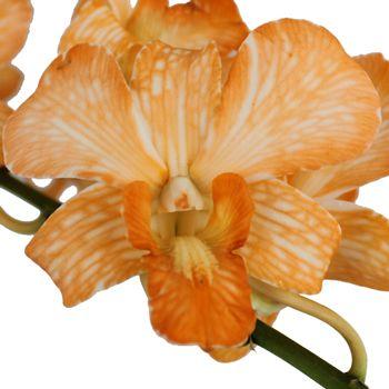 Orange Dendrobium Orchids Fiftyflowers Com Dendrobium Orchids Orchids Beautiful Orchids