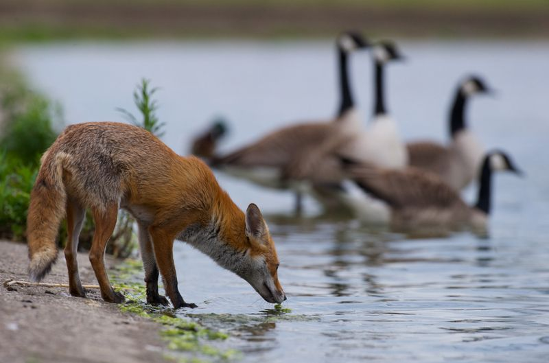 Want to learn about urban red foxes in London, England? This report will take you there.
