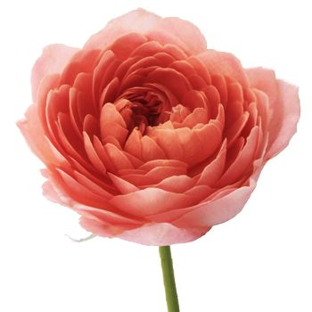 Coral Garden Rose jam tart sweetheart garden rose   jam tarts, orange wedding themes