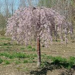 Weeping Willow Tree For Sale Home Depot