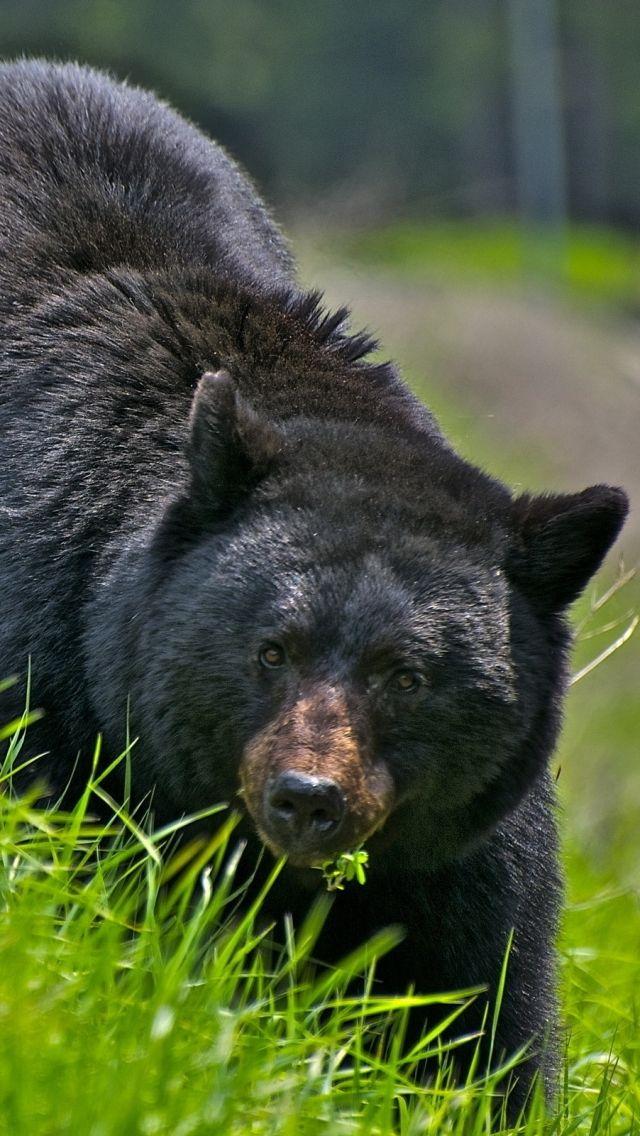 Download Wallpaper 640x1136 Bear Walk Brown Grass Iphone 5s 5c 5 Hd Background Black Bear American Black Bear Bear